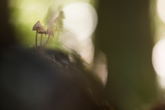 Hoch Hinaus (Melman Alexander) Tags: forest autumn mushrooms wald tree light bokeh boden natur natura naturfotografie macrophotography sigma15028macro green pilze pilzgruppe beauty zwerge laub buchenwald gegenlicht äste abend baumstamm macro germany niedersachsen lüneburgerheide stativ bodennah nikon d600