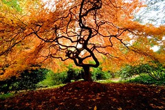 Windblown (Aurora Santiago Photography) Tags: laceleafmaple kubotagardens seattle washington japanesegarden fall autumn maple