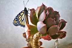Nueva vida: Primer vuelo de una Mariposa Monarca (☮ Montse;-))) Tags: vida nacimiento monarca crisálida mariposa cáctus flora fauna laspalmas grancanaria canaryislands otoño autumn 02octubre2016 nature lazoverde filantropia metamorfosis libertad octoberisbreastcancerawarenessmonth