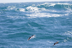 skua gull and wave (scilly puffin) Tags: larus gull islesofscilly