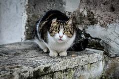 (massimopisani1972) Tags: garbatella roma rome italia italy nikon 28300 quartieregarbatella gatto cat massimopisani massimo pisani d610 20300