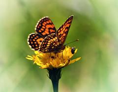 Buttefly (inge_rd) Tags: butterfly summer lwenzahn