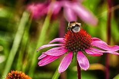 HMM .my second shot ! Explore 17-10-2016 (jo.misere) Tags: hmm macro monday bij bee bokeh achtergrond background ngc explore 17102016
