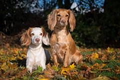 43/52 Lille Plet (sanneammitzbll) Tags: yada lilleplet 52 weeks dogs 52weeksofdogs