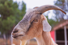 Goat (Cruzin Canines Photography) Tags: animal animals goat canon canoneos5ds canon5ds 5ds eos5ds closeup mammal domestic domesticanimal farm pettingzoo zoo calm california californialivingmuseum bakersfield kerncounty outdoors outside nature naturallight naturepreserve portrait horns