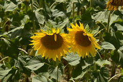 Une paire de tournesols (Flikkersteph -4,000,000 views ,thank you!) Tags: rural landscape nature summer beautiful plantation sunflowers countryside fields clearsky champagneetfontaine prigord france