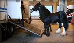 I refuse. (Papa Razzi1) Tags: 8307 2016 333365 oden horse shire loading truck refuse november xperiax