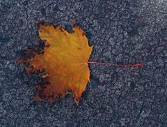 1 Yellow Leaf #3 (Mertonian) Tags: fall autumn yellow leaf cement concrete mertonian robertcowlishaw veins canon powershot g7x mark ii canonpowershotg7xmarkii wonder awe season3 1 deep nature ineffable beauty beautiful simplicity