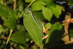 White-legged Damselfly 7388gb (dirkhuitzing) Tags: blauwebreedscheenjuffer platycnemispennipes whiteleggeddamselfly