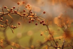 Si. (SimonaPolp) Tags: referendum sunset sun light december fall foliage autumn berries berry red nature tree day gold