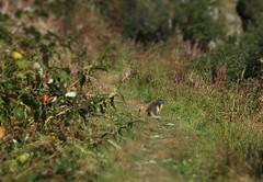 marmotte (bulbocode909) Tags: valais suisse valdentremont bourgstpierre nature montagnes marmottes vert arbres