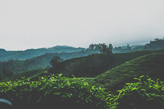 DSCF1115 (tzeyangtan) Tags: cameron highlands getaway green sgpalas tea plantation photography