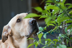 Deep in thought (Nicholas_Steven_) Tags: dog pet animal labrador woof retriever friend portrait thought concentrate
