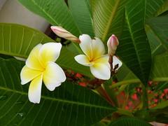 Fragrant harbour (Ben Zabulis) Tags: garden asia hongkong fragrantharbour fragrant summer fareast leaf leaves green petals   newterritories 5photosaday cheungshuetan  bloom growth
