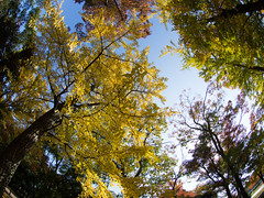 Yellow and Crimson (nak.viognier) Tags: osakacastle ginkgo yellow crimson 大阪城 olympusepl3 lumixgfisheye8mmf35