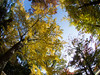 Yellow and Crimson (nak.viognier) Tags: osakacastle ginkgo yellow crimson 大阪城 olympusepl3 lumixgfisheye8mmf35