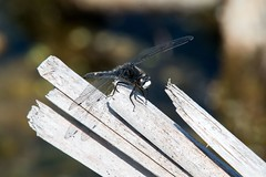 2016  Dot-tailed Whiteface (Leucorrhinia intacta) 12 (DrLensCap) Tags: dottailed whiteface leucorrhinia intacta moraine hills state park mchenry illinois o bug insect dragonfly dragon fly robert kramer