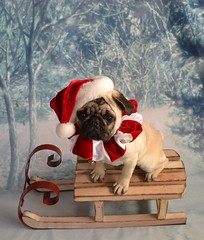 Christmas Pug Santa Claus (DaPuglet) Tags: pug puppy christmas holiday santa santaclaus dog costume winter sleigh pets animals santapug pugsanta pugs dogs animal pet snow sled