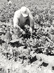 2016-11-25_12-23-13 (chrimaria_alex) Tags: macedoniagreece makedonia timeless macedonian     tobacco plant cultivation