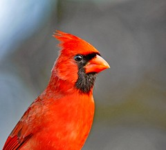 Pretty Boy! (picturesinmylife_yls) Tags: cardinal red spring like november beauty