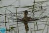 Little Grebe (Tachybaptus ruficollis) Mažasis kragas