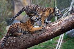 bersprungshandlung;-) (Mel.Rick) Tags: zooduisburg tigercub tiger tigerbaby makar arila sibirischertiger sugetiere tiere raubtiere raubkatzen