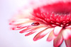 Gerbera (ElenAndreeva) Tags: autumn red beauty color light summer cute colors art dof insect canon pink garden top dream colorful composition sweet focus bug best amazing nature bokeh macro flower sun gerbera ledybug tones