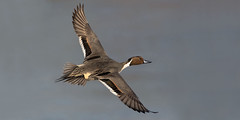 Pintail - Anas acuta (normanwest4tography) Tags: