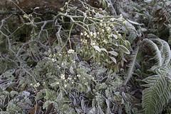 Erster Frost - 0011_Web (berni.radke) Tags: ersterfrost frost raureif wassertropfen rime eisblumen eiskristalle iceflowers icecrystals escarcha