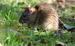 Rat stocks up. (pstone646) Tags: rat rodent animal nature wildlife feeding closeup fauna kent ashford mammal