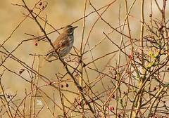 Redwing (~ **Barbara ** ~) Tags: wildbirds wildlife avian red redwing bullfinch berries summerleys naturereserve canon7dii sigma150500 birds