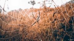 Good morning spidy. (worldwideshubham) Tags: spider web fog drops outdoor morning winter warm vintage