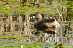 Pied-billed Grebe (Delta Naturalists Casual Birding) Tags: 201414 dncb colony dncblocation