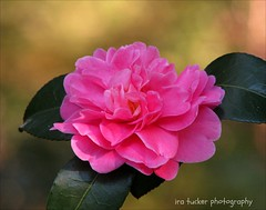 There is a cult of ignorance in the United States, and there always has been. The strain of anti-intellectualism has been a constant thread.... (itucker, thanks for 2.6+ million views!) Tags: camellia macro bokeh pink autumnspirit dukegardens