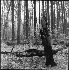 After the Fire (Dalliance with Light (Andy Farmer)) Tags: hasselblad500c aristaedu400 forestfire tree nature forest nj woods burned elkspinewoods bw eastbrunswick film xtol11 northbrunswicktownship newjersey unitedstates us