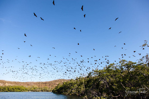 Flying foxes, Riung 21 Islands park, Flores, Indonesia (August 2015)