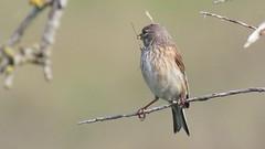 Linotte mlodieuse, Af (R, 2014-05-04_28) (th_franc) Tags: oiseau linottemlodieuse