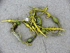 Seaweed011 (Quetzalcoatl002) Tags: life seaweed beach strand coast weed scheveningen sealife vegetation attractiveness zeewier