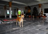 ,, Mama & Buddhas ,, (Jon in Thailand) Tags: dog smile happy eyes nikon buddha tail ears mama jungle rug nikkor k9 happysmile d300 175528 abandonedabusedstreetdogs littledoglaughedstories thedogpalace