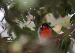 Testing Sony A7II (cgambarrotti) Tags: bird colorful beercan handheld butterflyworld minolta70210mmf4 sonya7ii