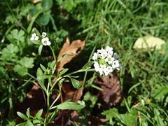 Sweet Alyssum (non-native) (corey.raimond) Tags: seattle plant whiteflower washington weed flora mustard roadside kirkland wildflower nonnative brassicaceae sweetalyssum lobularia lobulariamaritima