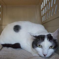 Uncomfortable (Carbon Arc) Tags: pet animal cat office vet fear practice veterinarian discomfort companion disappointment furrball feliine