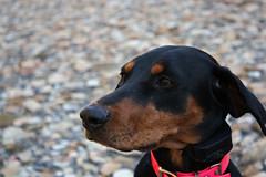 IMG_2794fixed (BenedekToth) Tags: park dog canon rebel cleveland hound kutya xsi metroparks transylvanianhound erdélyikopó erdelyikopo
