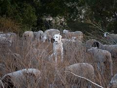 unique (Lisa Ouellette) Tags: grass sheep sheepdog baaaa munch patrol guardian shepard anise americanriverparkway biketrail weedpatrol