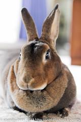 IMG_3270-1 (Shashin Biyori) Tags: pet rabbit bunny animals ペット choco 動物 うさぎ minirex チョコ ミニレッキス うさかつ日記 canonx7i キャノンx7i sigma1750mmf28exdcoshsmcanon