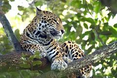 Jaguar, Belize © CTO Demian Solano, Belize Tourist Board