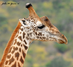 JHG_6000-b Masai Giraffe. This was indeed a huge Giraffe rich image opportunity all over The Tsavos. Tsavo West, Kenya. (GavinKenya) Tags: africa wild nature animal june john mammal photography gavin photographer kenya african wildlife july grand safari dk naturephotography kenyasafari africansafari 2015 safaris africanwildlife africasafari johngavin wildlifephotography kenyaafrica kenyawildlife dkgrandsafaris africa2015 safari2015 johnhgavin
