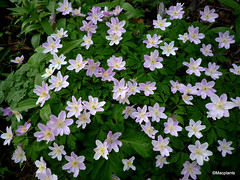 Anemone nemorosa 'Kentish Pink'