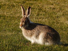 Should I stay or should I go? (annkelliott) Tags: autumn wild canada calgary fall nature grass animal hare outdoor wildlife alberta wildanimal sideview moulting jackrabbit eatinggrass whitetailedjackrabbit annkelliott lepustownsendii anneelliott familyleporidae fz200 fz2003 28october2015 outsidewhereivolunteer changingtowhitewintercoat
