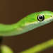 Northern Rough Greensnake, Juvenile